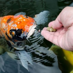 Pagrindinės žuvyčių šėrimo taisyklės