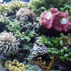 Šarmingumas rifiniam akvariume