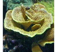 Turbinaria reniformis SPS koralas; L