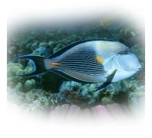 Žuvis Arabinis jūrų chirurgas Acanthurus sohal