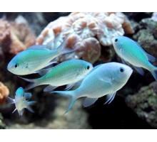 Pseudochromis viridis